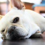 french-bulldog