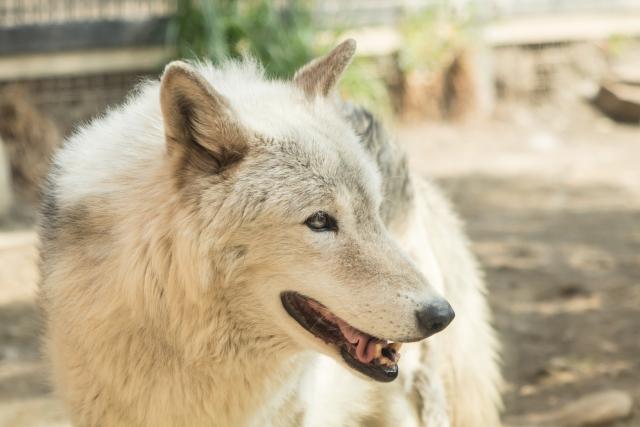saarloos-wolfhond
