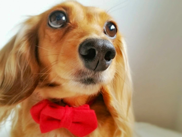 miniature-dachshund