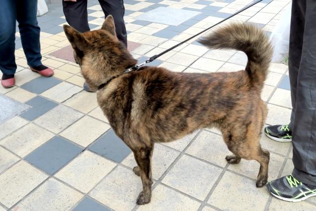 great-japanese-dog