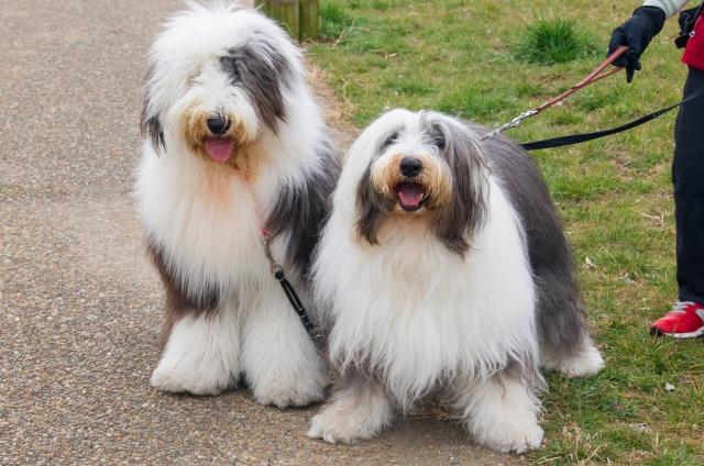 polish-lowland-sheepdog