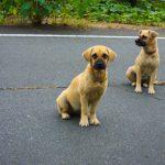 english-mastiff