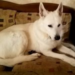 white-swiss-shepherd-dog