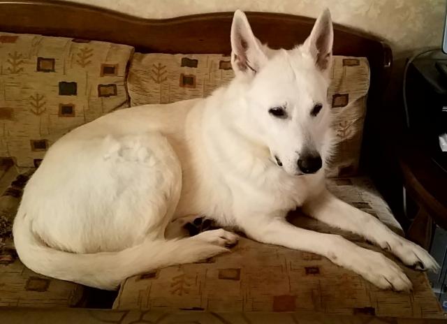 white-swiss-shepherd-dog