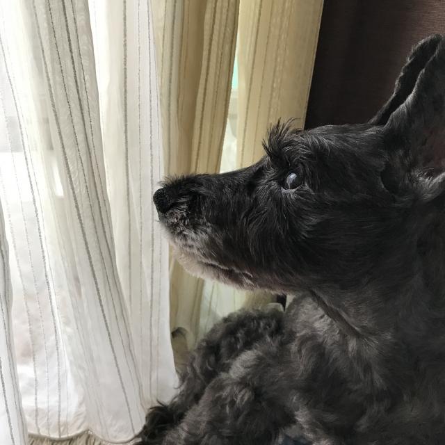 scottish-terrier
