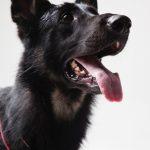 croatian-sheepdog