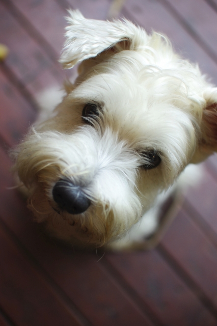 wirefox-terrier