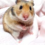 turkish-hamster