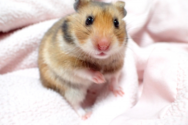 turkish-hamster