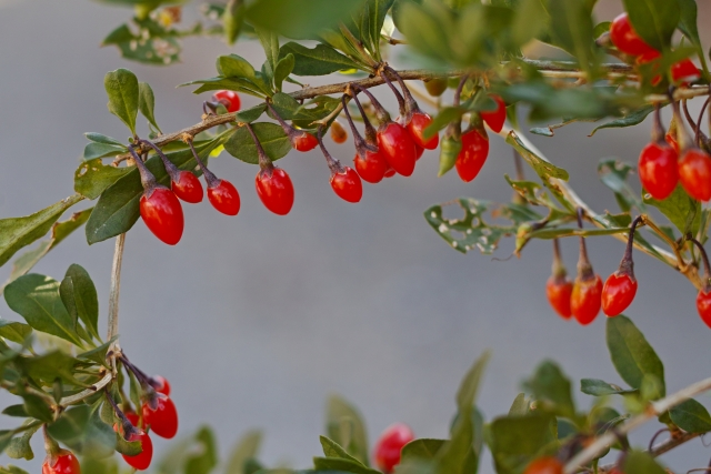 chinese-wolfberry-fruit