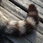 american-ringtail