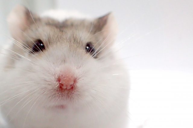 campbells-hamster