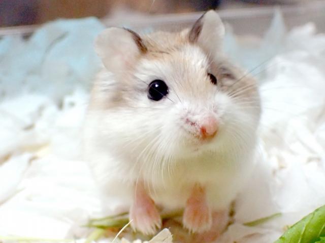 roborovsky-hamster