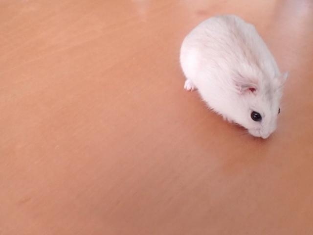 creamy-line-djungarian-hamster