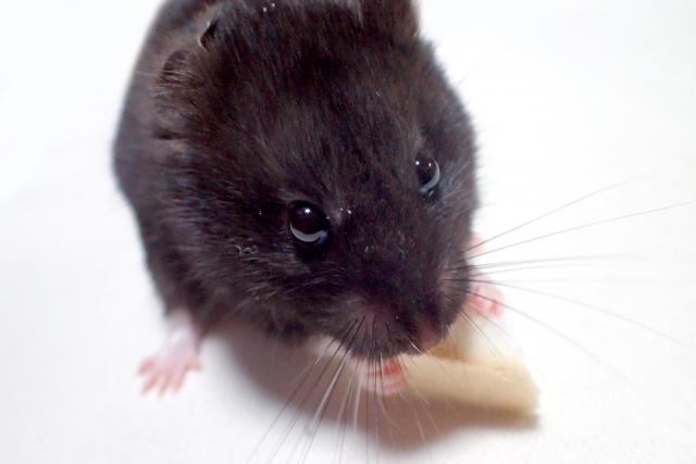 black-hamster