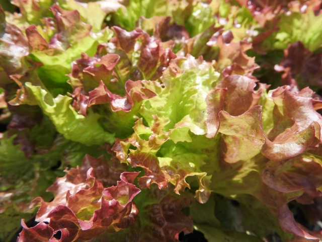 sunny-lettuce