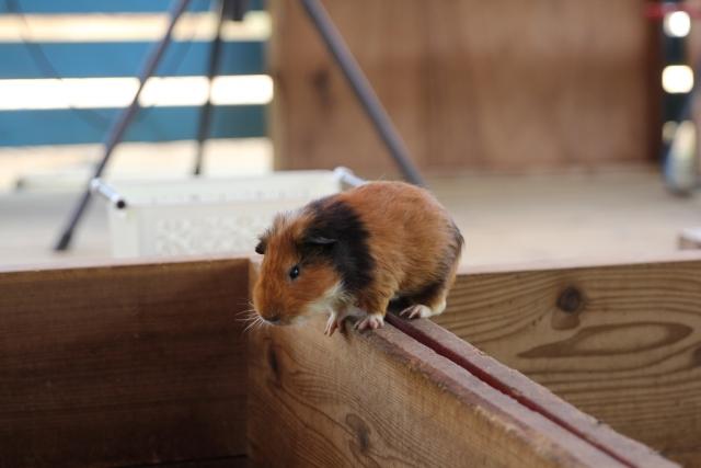 european-hamster