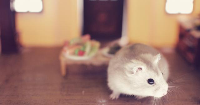 silver-pearl-djungarian-hamster