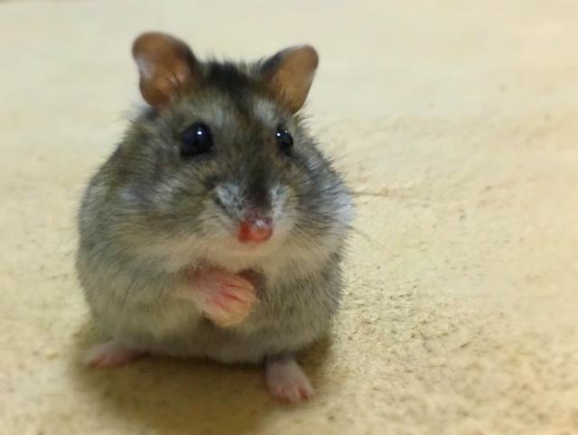 triton-hamster