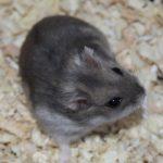 armenian-hamster