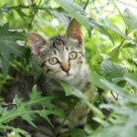 bahraini-dilmun-cat