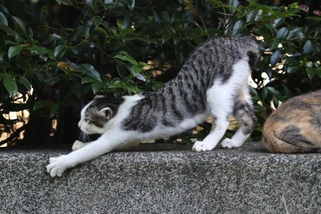 japanese-bobtail