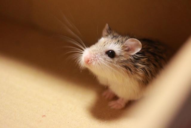 mouse-like-hamster