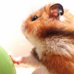 tricolor-hamster