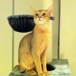 ceyloncat
