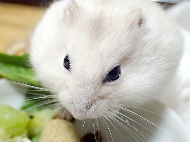 pearl-dwarf-hamster