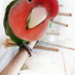 rosy-faced-lovebird