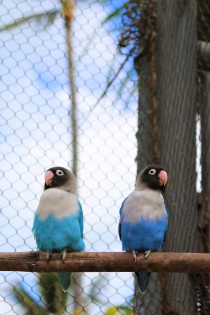 nyasa-lovebird