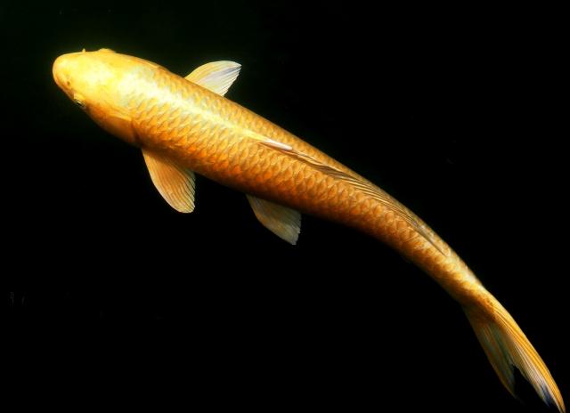 colored-carp-chagoi