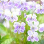 february-21-birth-flower