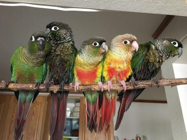 green-cheeked-parakeet