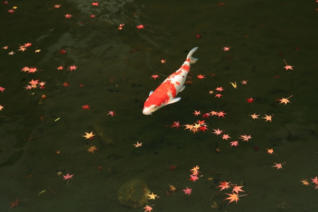 colored-carp-red-and-white