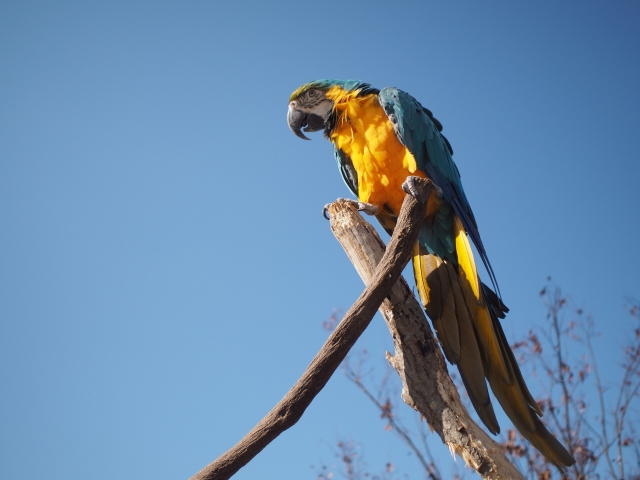 blue-and-yellow-macaw