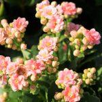 february-25-birth-flower
