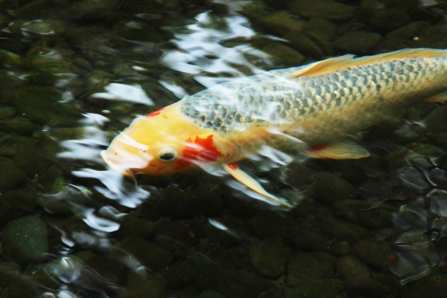 colored-carp-shusui
