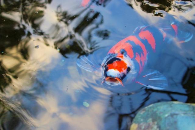 colored-carp-hiutsuri