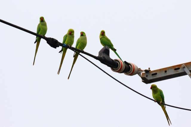 alexandrine-parakeet