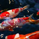 life-of-the-colored-carp-fish-red-and-white